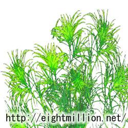 水草:トリゲモ