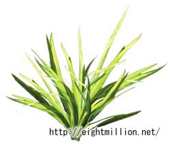 水草:ドワーフ・アマゾンソードプラント