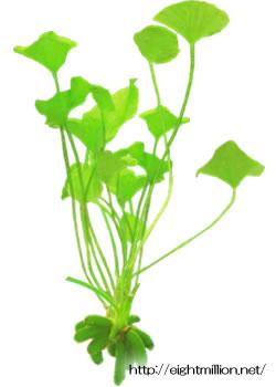 水草:ニムフォイデス・インディカ
