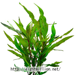 水草:ニュー・ラージリーフ・ハイグロフィラ