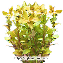 水草:ハイグロフィラ・ゴールドブラウン