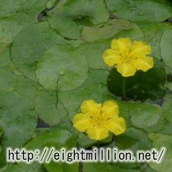 水草:ハナジュンサイ