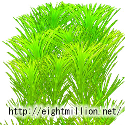 水草:ヒドロトリケ・ホットニフローラ