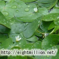 水草:ヒメシロアサザ