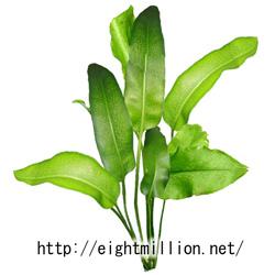 水草:フィジアンウォーターファン