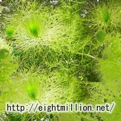 水草:フサタヌキモ