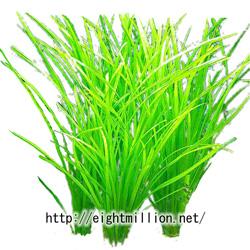 水草:ブリクサ・チプルス