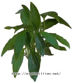 水草:フロリブンダ