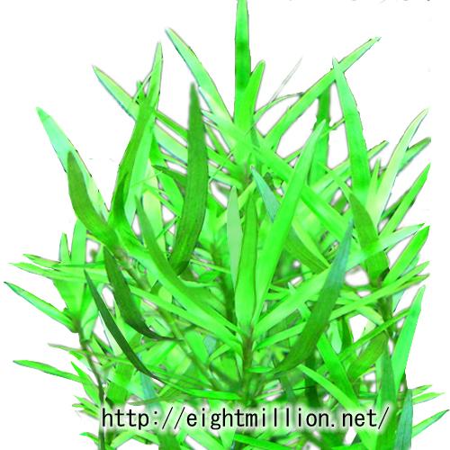水草:ヘテランテラ
