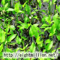 水草:ヘラオモダカ
