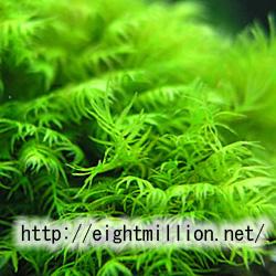水草:ホウオウゴケ