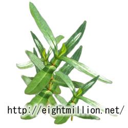 水草:ホソバヒメミソハギ