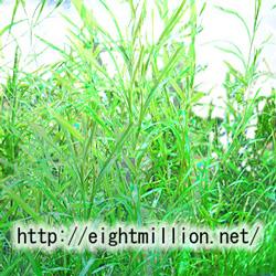 水草:ポタモゲトン・ガイー