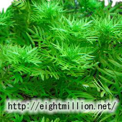 水草:ホトニア・パルストリス
