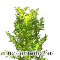 水草:ホワイト・ウィステリア