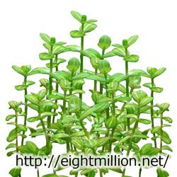 水草:ホワイト・ドリマリア