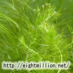 水草:ミズスギナ