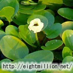 水草:ミズヒナゲシ