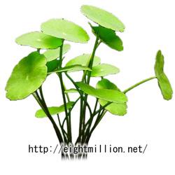 水草:ミニマッシュルーム