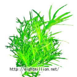 水草:ムサシモ