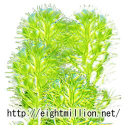 水草:ムジナモ