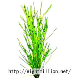 水草:ヤナギモ