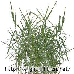水草:ヨシ