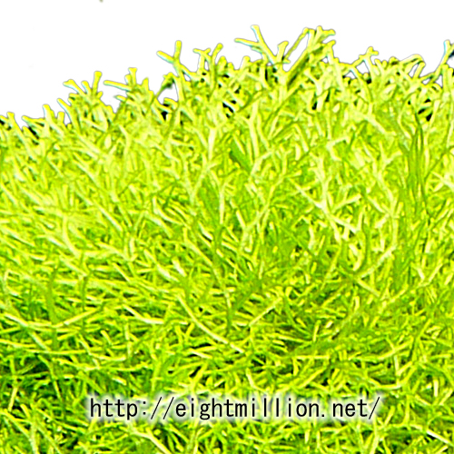 水草:ウキゴケ